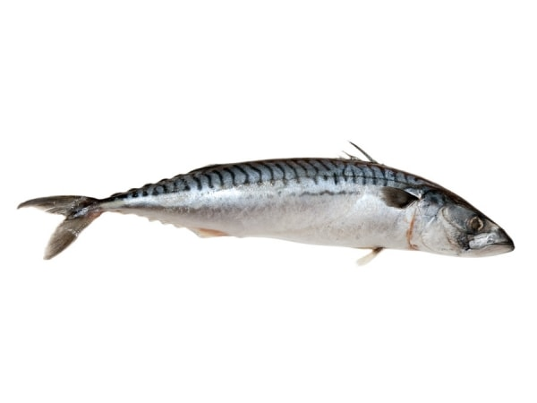 Makrele im Ganzen frisch - jetzt kaufen bei Fisch-Gruber