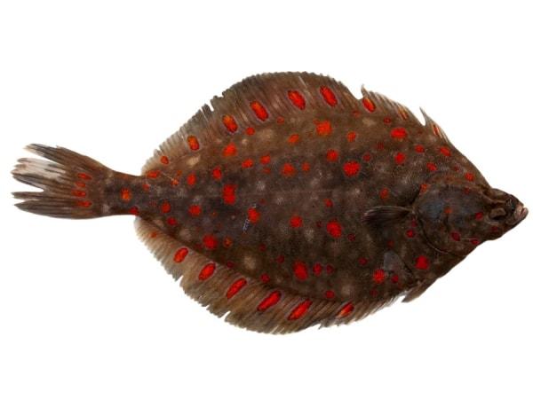 Frische Scholle im Ganzen - jetzt bei Fisch-Gruber kaufen
