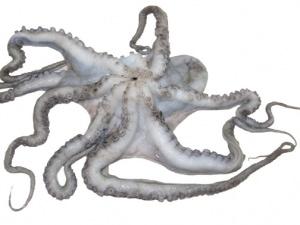 Frischer Oktopus