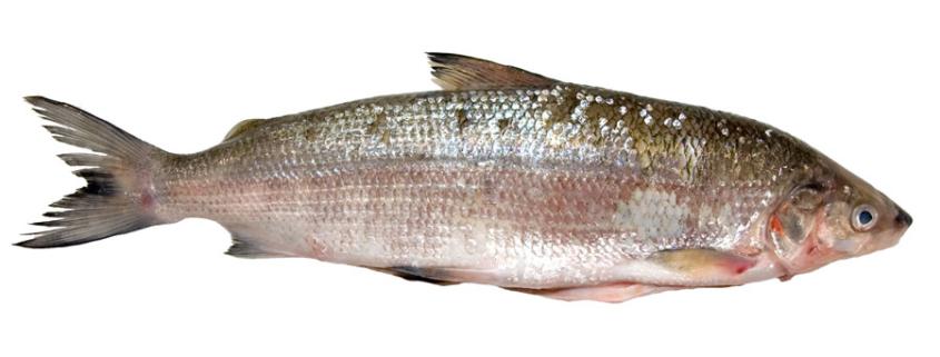 Die Reinanke oder Felchen - einer der feinsten heimischen Fische überhaupt