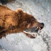 Der berühmte Salmon Run - die Wanderung der Wildlachse
