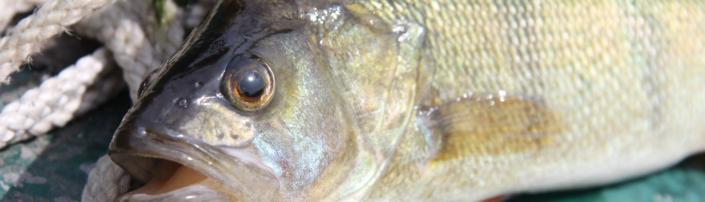 Wie lange ist Ihr Fisch haltbar? - Tipps von Fisch-Gruber
