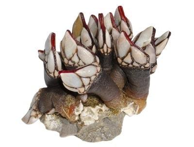 Entenmuscheln tragen oft noch ein Stück Stein von der Ernte mit sich.