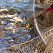 Fisch-Gruber führt ausschließlich Karpfen aus österreichischer Teichwirtschaft