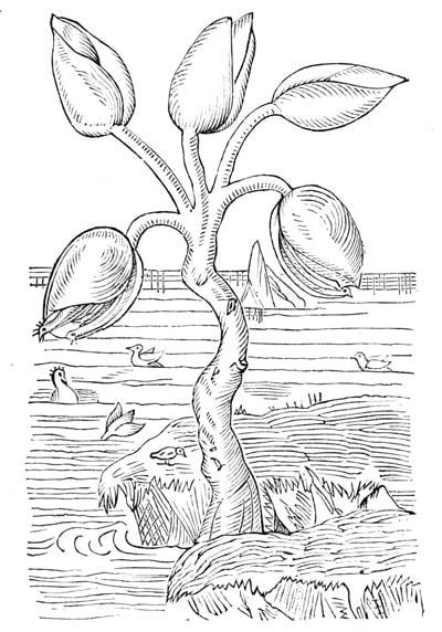 """""""Der Gänsebaum"""" aus Gerard's Herbal (1597) zeigt den Volksglauben, dass Entenmuscheln (goose barnacle) Gänse (geese) hervorbringen."""