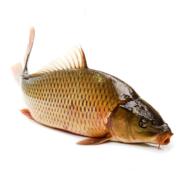 Lebende Karpfen bei Fisch-Gruber