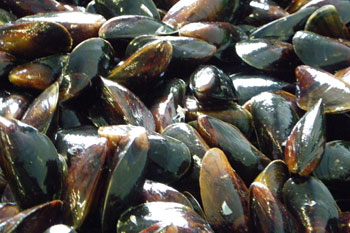 Miesmuscheln/Blaumuscheln aus dem Limfjord