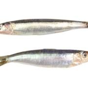 Sardelle (oben) und Sardine (unten)