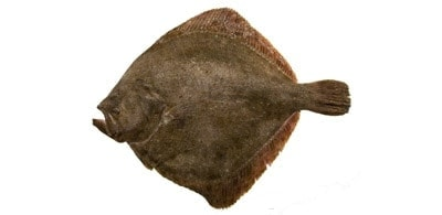Turbot from the Northern Sea (Denmark) – Front/Back
